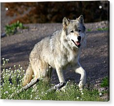 Lonly Wolf Acrylic Print by Marty Koch