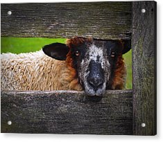 Acrylic Print featuring the photograph Lookin At Ewe by Skip Hunt