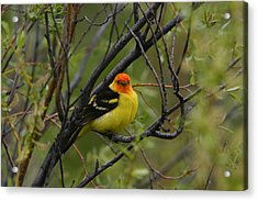 Looking At You - Western Tanager Acrylic Print