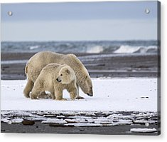 Looking Back In The Arctic Acrylic Print