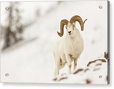 Looking For Ewes Acrylic Print by Tim Grams