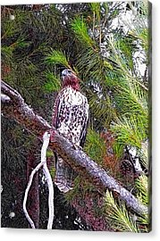 Looking For Prey - Red Tailed Hawk Acrylic Print by Glenn McCarthy Art and Photography
