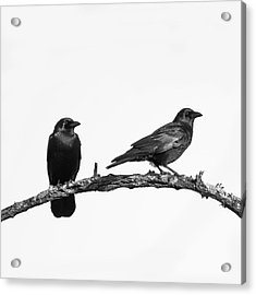 Looking Right Two Black Crows On White Square Acrylic Print by Terry DeLuco