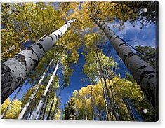 Looking Up At Autumn Aspens Acrylic Print by Ed Book