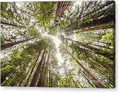 Looking Up At The Redwood Canopy - Founders Grove Muir Woods National Monument - Marin County  Acrylic Print by Silvio Ligutti