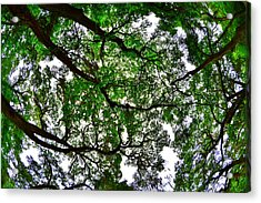 Looking Up The Oaks Acrylic Print