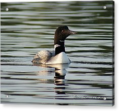 Loon 1 Acrylic Print by Steven Clipperton