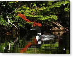 Loon And Chick Acrylic Print