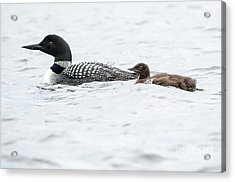 Loon And Chick Acrylic Print by Cheryl Baxter