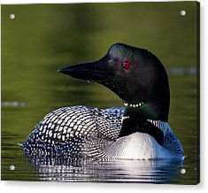 Loon Close Up Acrylic Print