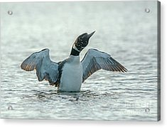 Loon Flapping Wings Acrylic Print by Cheryl Baxter