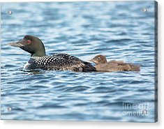 Loon Parent And Chick Acrylic Print by Cheryl Baxter