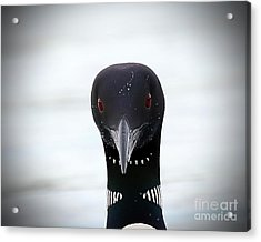 Loon Stare Acrylic Print by Peter Gray