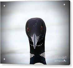 Loon Stare Acrylic Print
