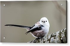 Acrylic Print featuring the photograph Loong Tailed by Torbjorn Swenelius