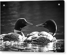 Loons In Black And White Acrylic Print by Cheryl Baxter