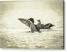 Loons On The Lake Acrylic Print by Cheryl Baxter