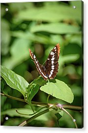 Lorquin's Admiral Butterfly Acrylic Print