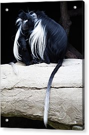 Lost In Cuddling - Black And White Colobus Monkeys  Acrylic Print by Penny Lisowski