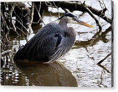 Acrylic Print featuring the photograph Lost Lagoon Great Blue Heron 1 by Terry Elniski