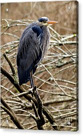 Acrylic Print featuring the photograph Lost Lagoon Great Blue Heron 4 by Terry Elniski