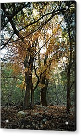 Acrylic Print featuring the photograph Lost Maples State Park Tree 41 by Karen Musick