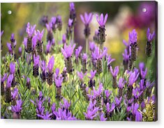 Acrylic Print featuring the photograph Lots Of Lavender  by Saija Lehtonen
