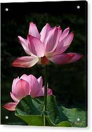 Lotus Beauties--upstaged Dl048 Acrylic Print