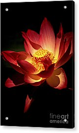 Lotus Blossom Acrylic Print by Paul W Faust -  Impressions of Light