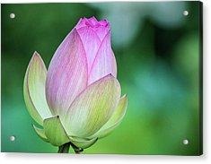 Lotus Bud Acrylic Print