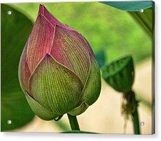 Lotus Dreaming 3 Acrylic Print