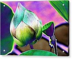 Lotus Dreaming 8 Acrylic Print