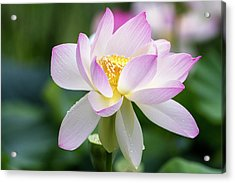Acrylic Print featuring the photograph Lotus by Edward Kreis