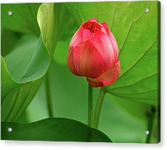 Acrylic Print featuring the photograph Lotus Flower by Harry Spitz