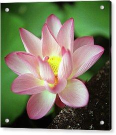 Lotus Flower Acrylic Print by Yoshika Sakai