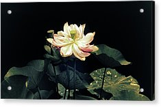 Lotus Nelumbo Acrylic Print