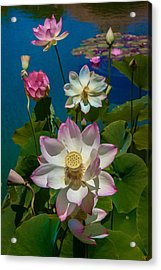 Lotus Pool Acrylic Print