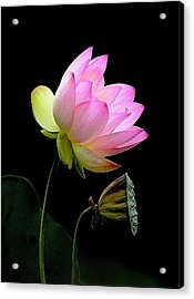 Lotus  Acrylic Print by Thanh Thuy Nguyen