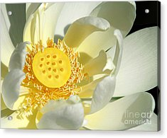 Lotus Up Close Acrylic Print by Sabrina L Ryan