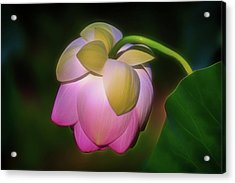 Acrylic Print featuring the photograph Lotus, Upside Down  by Cindy Lark Hartman