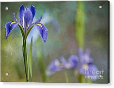 Louisiana Iris Acrylic Print by Bonnie Barry
