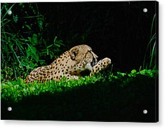 Lounging Cat Acrylic Print by Gene Sizemore