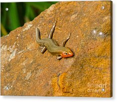 Acrylic Print featuring the photograph Lounging Lizard by Rand Herron