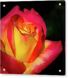 Acrylic Print featuring the photograph Love And Peace Rose by Julie Palencia