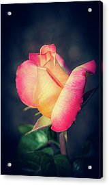 Acrylic Print featuring the photograph Love And Peace Single Rose by Julie Palencia