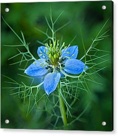 Love-in-a-mist Acrylic Print by Bud Hensley