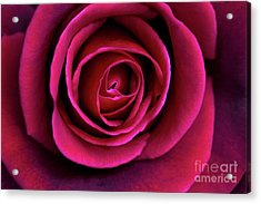 Acrylic Print featuring the photograph Love Is A Rose by Linda Lees