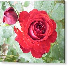 Love Roses Acrylic Print by Lisa Roy