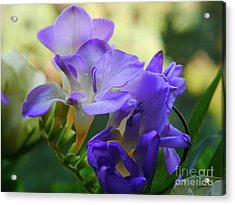 Acrylic Print featuring the photograph Lovely Freesia's by Lance Sheridan-Peel