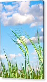 Lovely Image Of Young Barley Against An Idyllic Blue Sky Acrylic Print by Tom Gowanlock